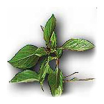 HORAPHA (Sweet Basil)