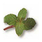 SARANAE (Marsh Mint)
